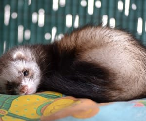 animals, pets, and ferrets image