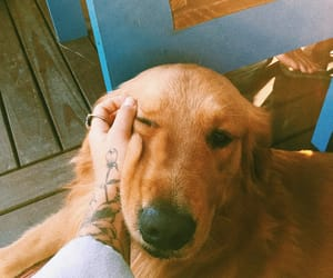 dog, golden, and pet image
