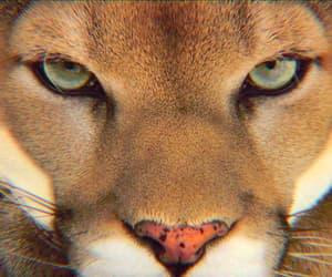 animal, eyes, and puma image