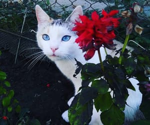 blueeyes, cat, and cats image