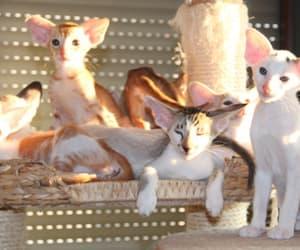 cuccioli, orientali, and gatto image
