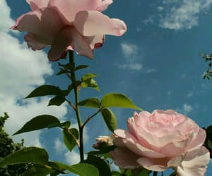 Image de flowers, pink, and rose