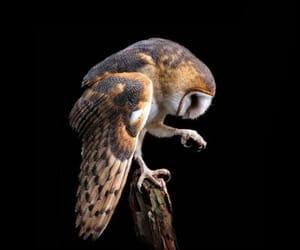 barn owl and lechuza image