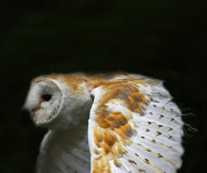 barn owl, nature, and wings image