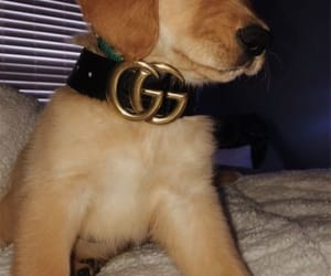 dog, gucci, and puppy image