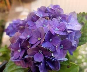 flor, morado, and hortensia image