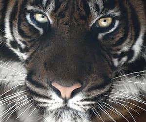tiger and spirit animal image
