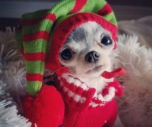 chihuahua, chihuahuas, and christmas image