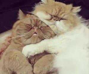 cat, hugs, and persian image