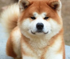dog, cute, and akita image