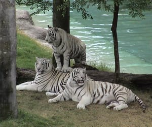 animals, cat, and stripes image