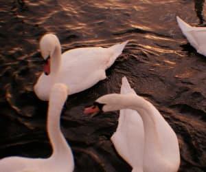 Swan, theme, and animal image
