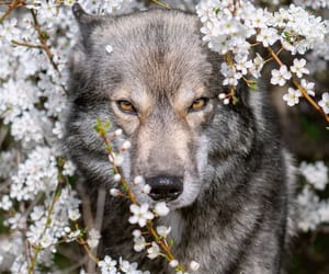 wolf, animals, and flowers image