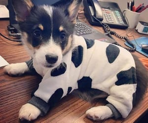adorable, corgi, and dogs image