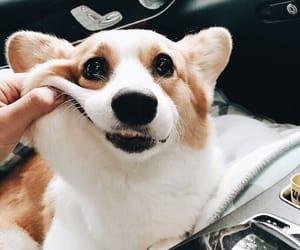 animal, dog, and corgi image