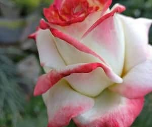 flower, pink rose, and flowers image