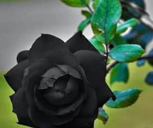 black rose, rose love, and rose garden image