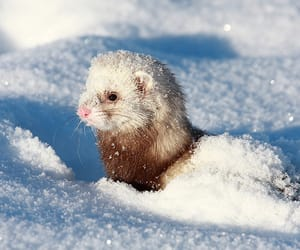 snow, animal, and ferret image