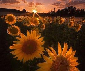 sunflower, sunset, and flowers image