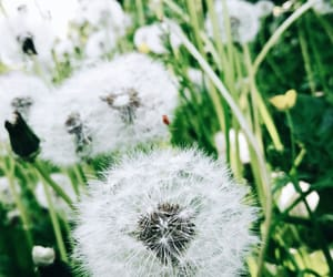 dandelion, flower, and flowers image