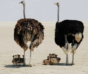 baby, ostrich, and animal image