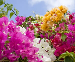 brazil, flowers, and bougainville image