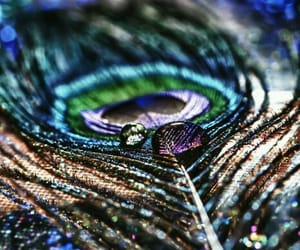 feather and peacock image