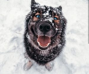 blue eyes, cold, and cute dogs image