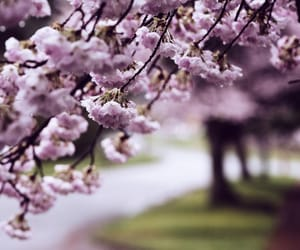 aesthetics, cherry blossoms, and flowers image