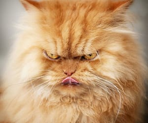cat, angry, and animal image