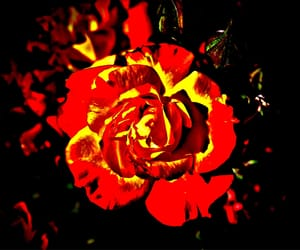 flower, rose, and hrd image