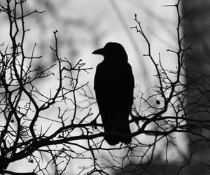 bird, crow, and black and white image