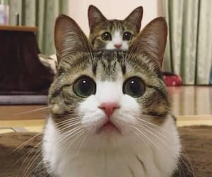 animals, cuteness overload, and cats image