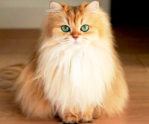 cat, green eyes, and long haired cat image