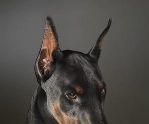 dog, doberman, and animal image