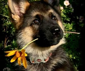 dog, flower, and puppy image