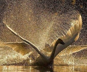 nature, photography, and Swan image