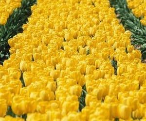 yellow and tulips image