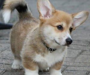 animal, corgi, and puppy image