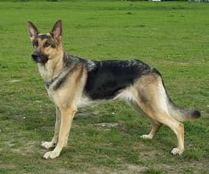 shepherd dog and alsatian image