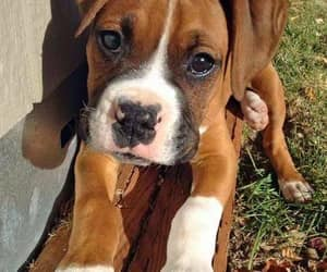 animals, boxer, and dogs image