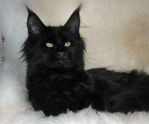 black cat, maine coon, and cat image
