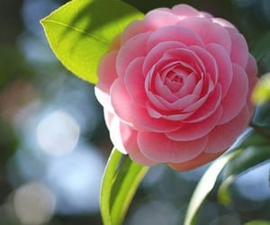 camellia, pink, and flower image