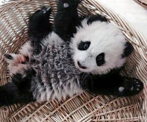 animal, baby, and panda image