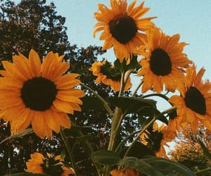 sunflower, flowers, and aesthetic image