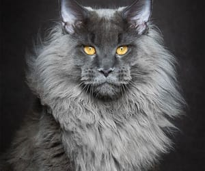 maine coon cats image