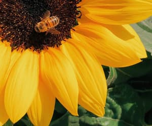 flowers, bee, and sunflower image