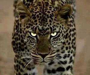 fierce and leopard image