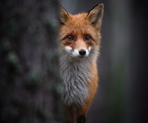 fox, animal, and forest image