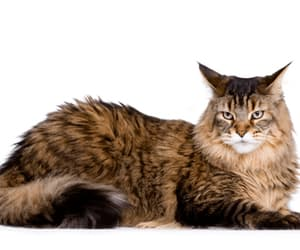 maine coon cat breeds image